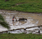 Carabao Plowing in Dauin Farm