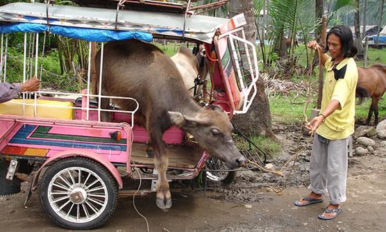 carabao in malatapay